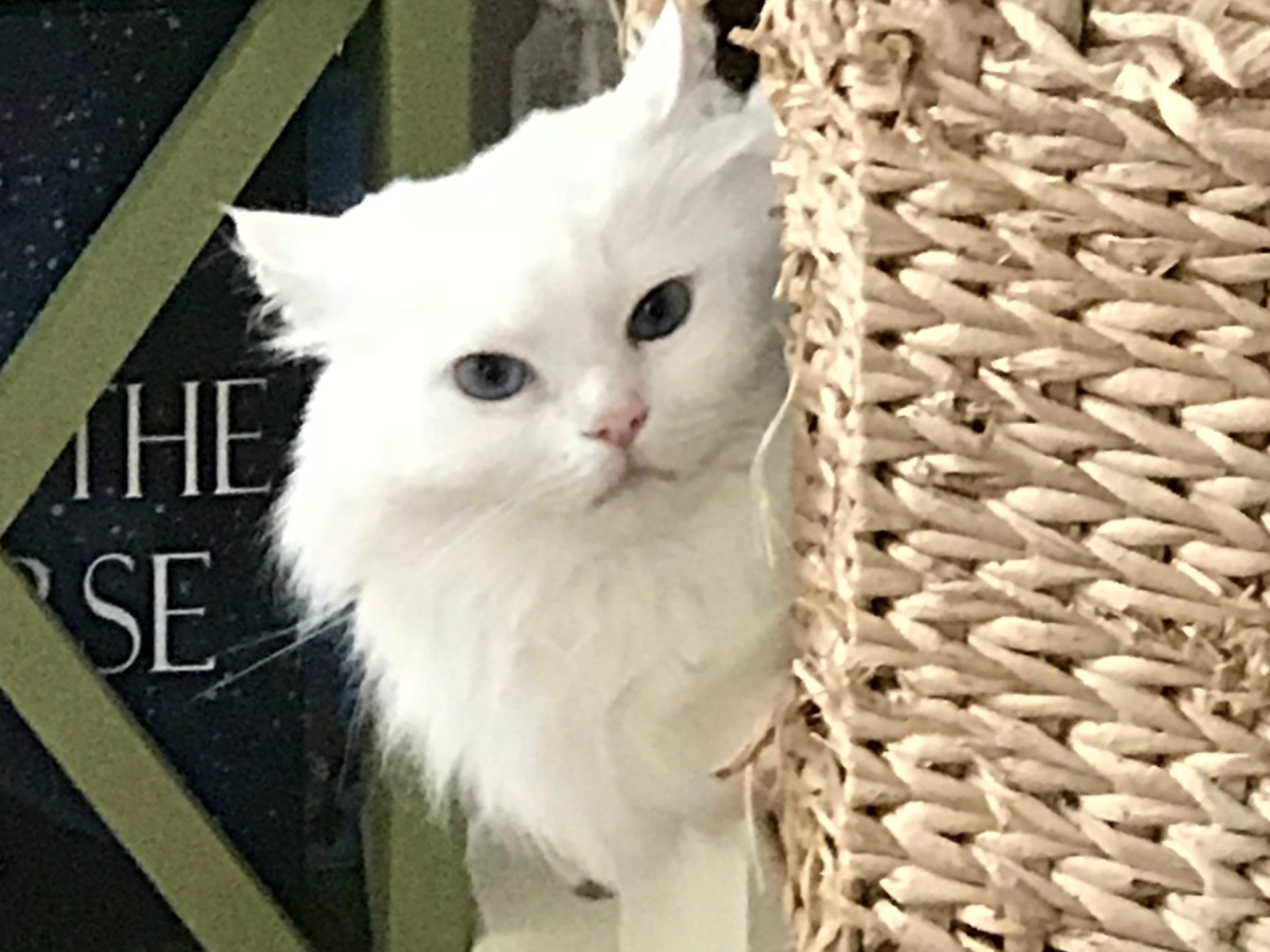 A Blue-eyed white ragdoll cat peers out of a cat condo.