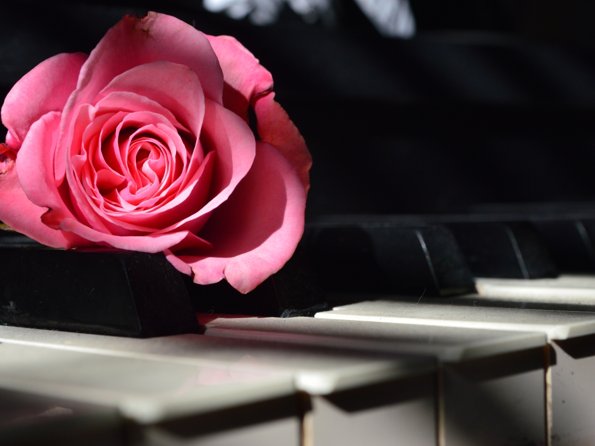 A blooming pink rose on piano keys